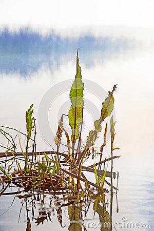 Green leaves in misty lake