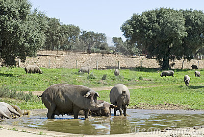 Some iberian pigs having a bath.