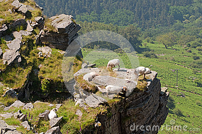 Some sheep in a crag. Green trees at the background