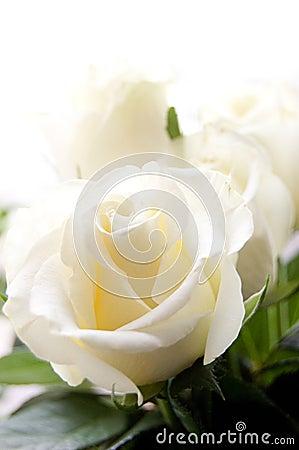 Some white roses