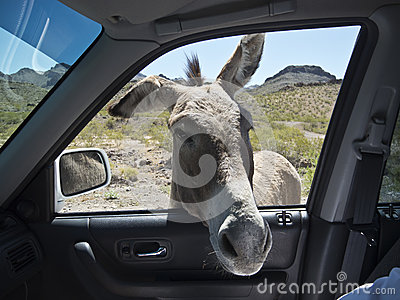Some Wild Burros are not so wild