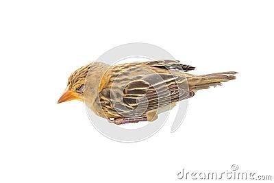 Sommeil de jeune oiseau