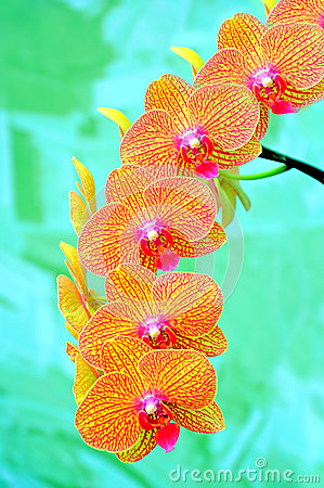 Sonata of orchids