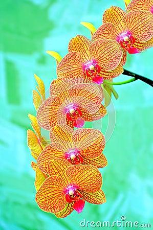 Sonata of orchids