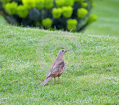 Song mistle thrush beauty