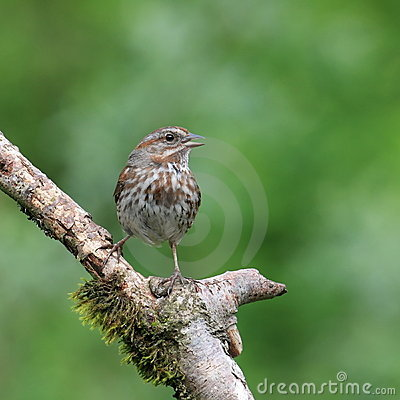 Song Sparrow Royalty Free Stock Image - Image: 5717636