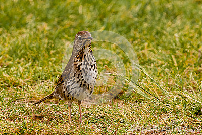 Song Thrush foraging in green grass