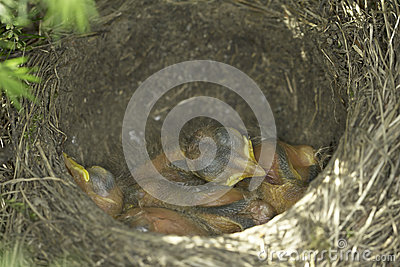 Song thrush nest with baby birds / Turdus philomelos