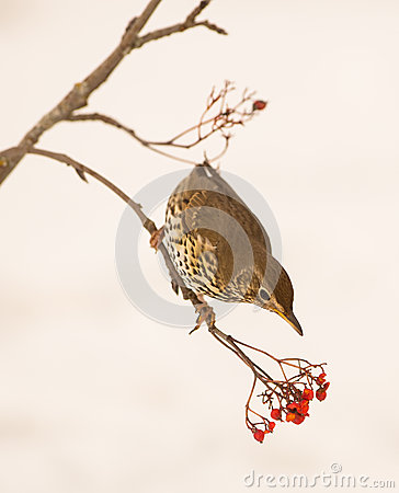 Song Thrush with Rowan berries