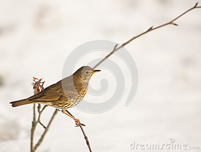 Song Thrush with snow