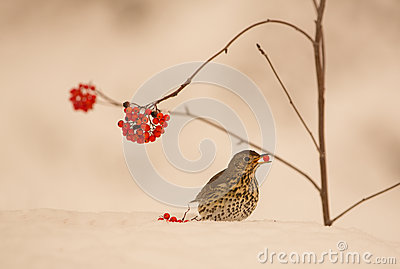 Song Thrush eating a berry on snow