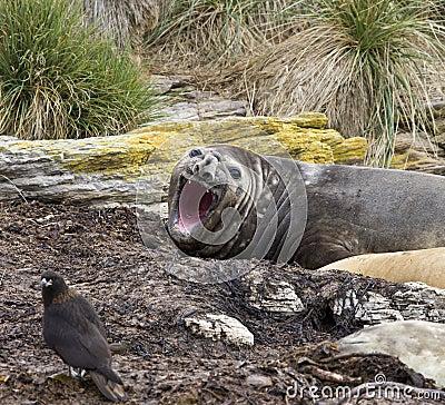 Słonia Falklands foka