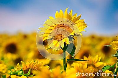 Sonnenblume auf dem Gebiet