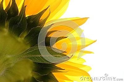 Sonnenblume auf Weiß