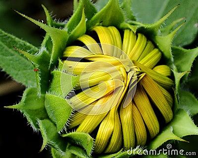 Sonnenblume-Knospe