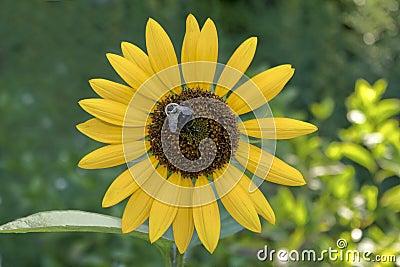 Sonnenblume mit einer durchmogelnbiene