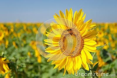 Sonnenblume morgens auf der Sonne