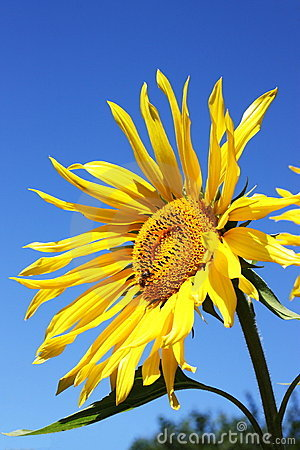 Sonnenblume und Biene
