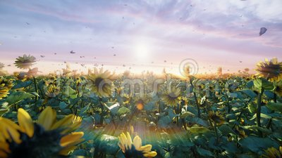 Sonnenblumen auf dem Gebiet bei Sonnenaufgang Sch?ne Felder mit Sonnenblumen, Schmetterlingen und Insekten im Sommer