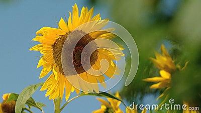 Sonnenblumen-Beeinflussen stock footage