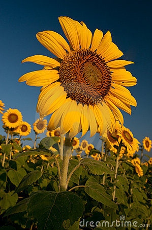 Sonnenblumen am Sonnenaufgang