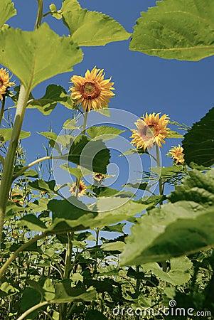 Sonnenblumen unter Sonnenschein