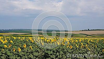 Sonnenblumenfeldsommer stock video footage
