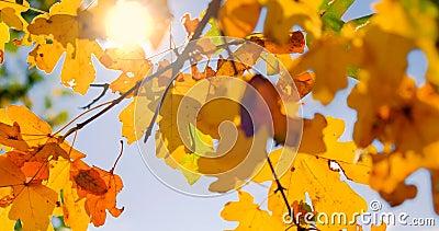 Sonnenschein durch gelbe Blätter im Herbst in der Nähe stock footage