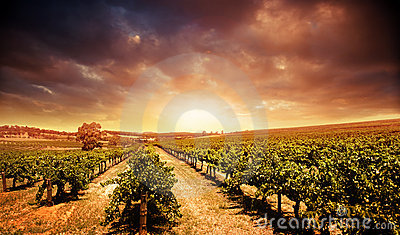 Sonnenuntergang-Weinberg