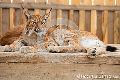 Sonno del gatto selvatico