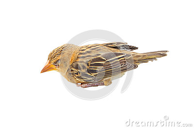 Sonno del giovane uccello