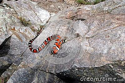 Sonora Mountain Kingsnake
