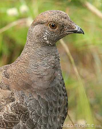 Free Sooty Grouse Royalty Free Stock Photography - 3740627