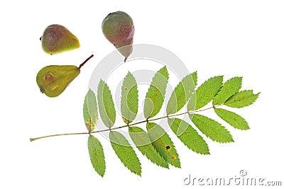 Sorb tree (Sorbus domestica)