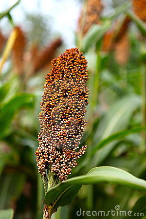 Free Sorghum Stock Photography - 15858682