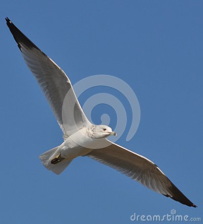 The soring seagull
