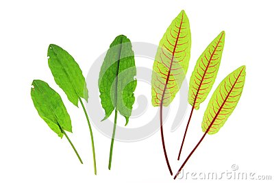 Sorrel and blood sorrel
