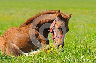 Sorrel foal