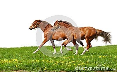 Sorrel foals gallop