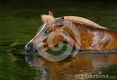Sorrel Highland pony drinking in a pond