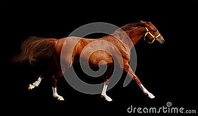 Sorrel horse gallops