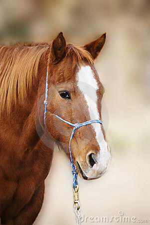 Sorrel Quarter Horse with Blaze