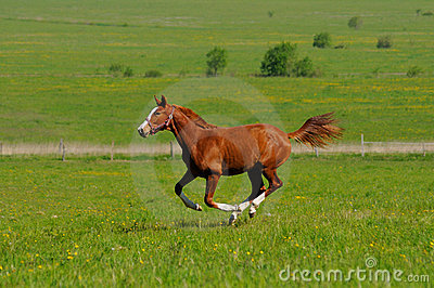 Sorrel stallion