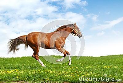 Sorrel trakehner foal gallops