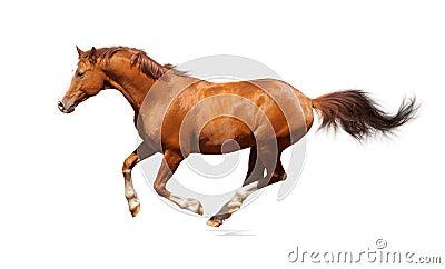Sorrel trakehner stallion