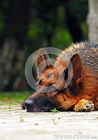Sorrow shepherd dog