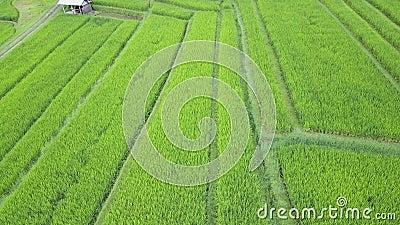 Sorvolare le risaie stock footage
