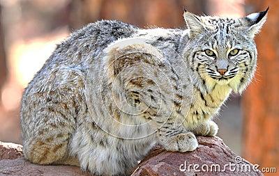 Sosta nazionale del yellowstone del gatto selvatico nordamericano, Idaho