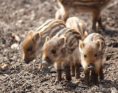 Sounder of young wild  boars