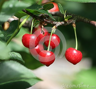 Free Sour Cherry Royalty Free Stock Images - 25243059